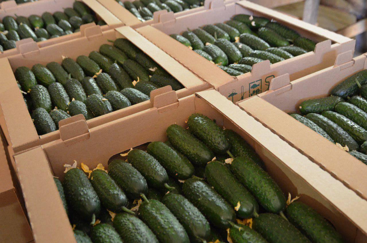 Около 77 тысяч тонн овощей собрали в теплицах Подмосковья с начала года   Изображение 1
