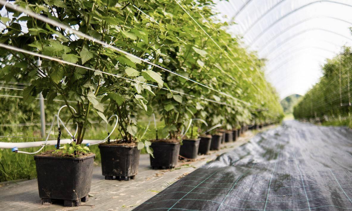 Первый урожай клубники, ежевики и малины собрали в Наро-Фоминске | Изображение 2