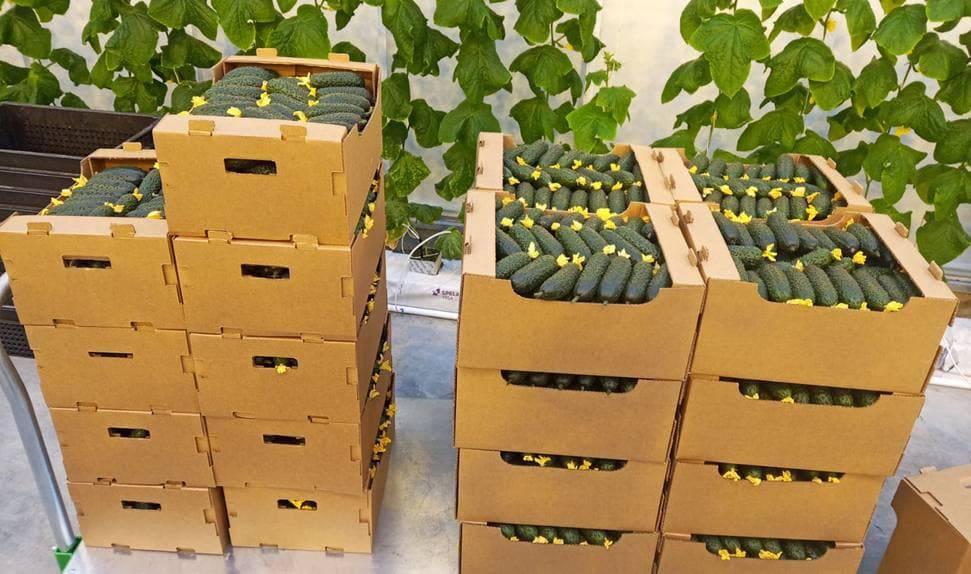 Подмосковье вошло в топ-3 регионов по сбору овощей в зимних теплицах | Изображение 2
