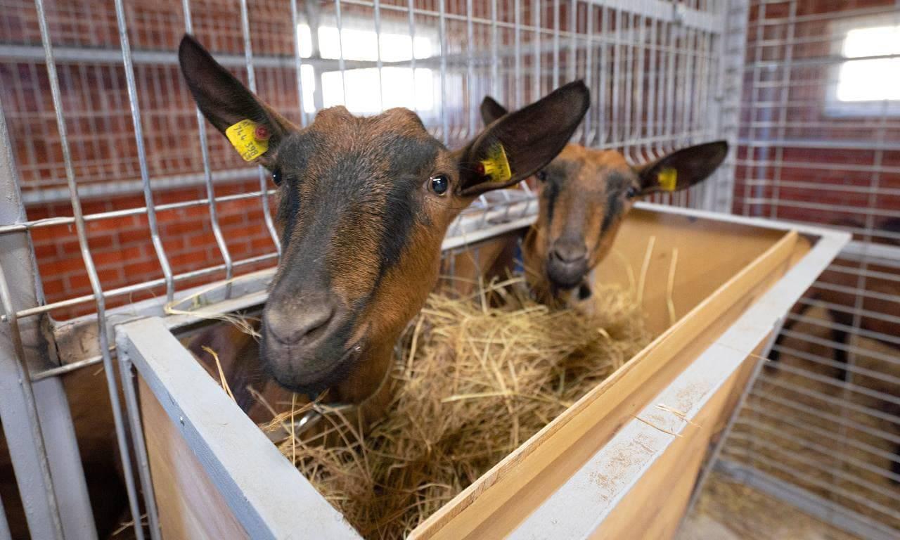 Ферма в Домодедове купила почти 60 коз из Австрии благодаря гранту | Изображение 1