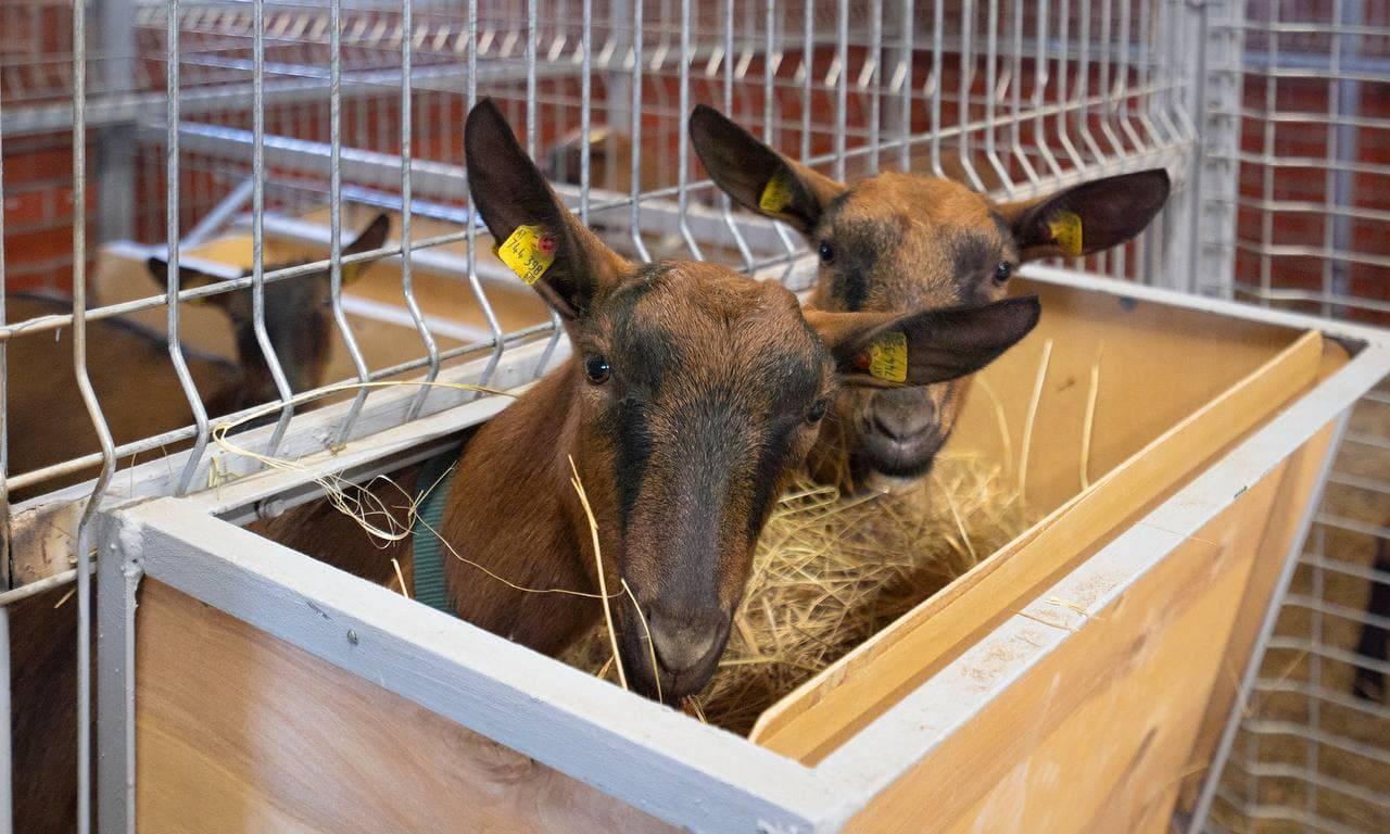 Ферма в Домодедове купила почти 60 коз из Австрии благодаря гранту | Изображение 2